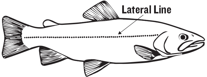function and role of the lateral line Gated limits the functional interpretation of specific lateral line morphologies [31]   plays such a dominant role in behavioural tasks of fishes [75] however.